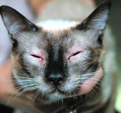 Антигистаминные препараты для кошек от аллергии: список средств и дозировка