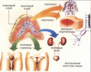 Врожденная дисфункция коры надпочечников: основные сведения