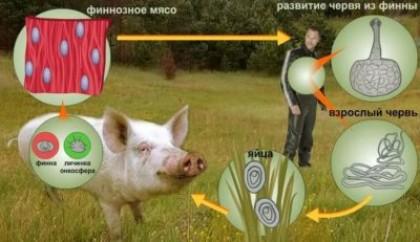 Развитие паразитаи основные пути заражения