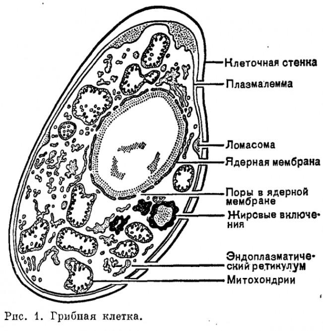 Отличия от клеток растений, бактерий и животных